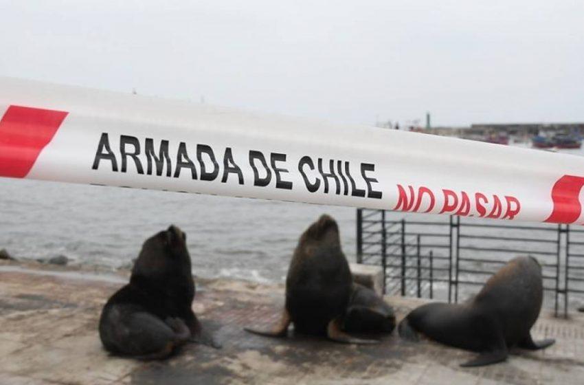 Lobos marinos se toman paseo peatonal de Antofagasta