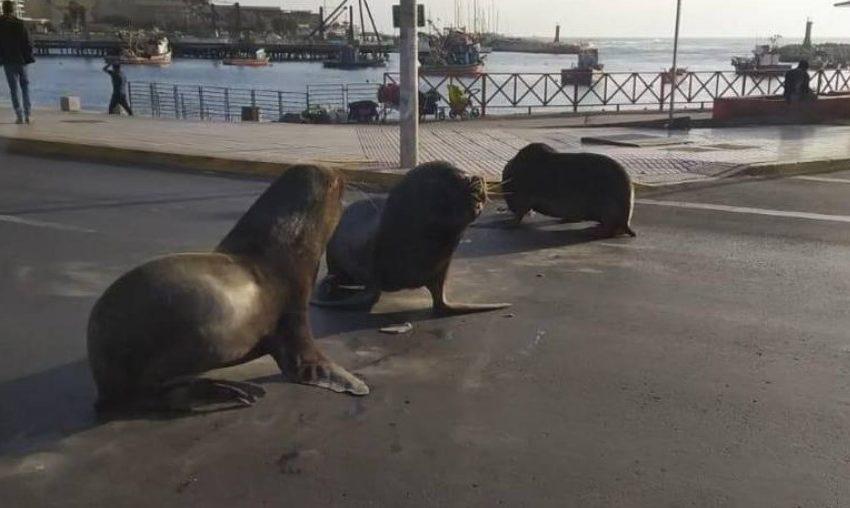 Lobos Marinos bloquearon el tránsito en Antofagasta