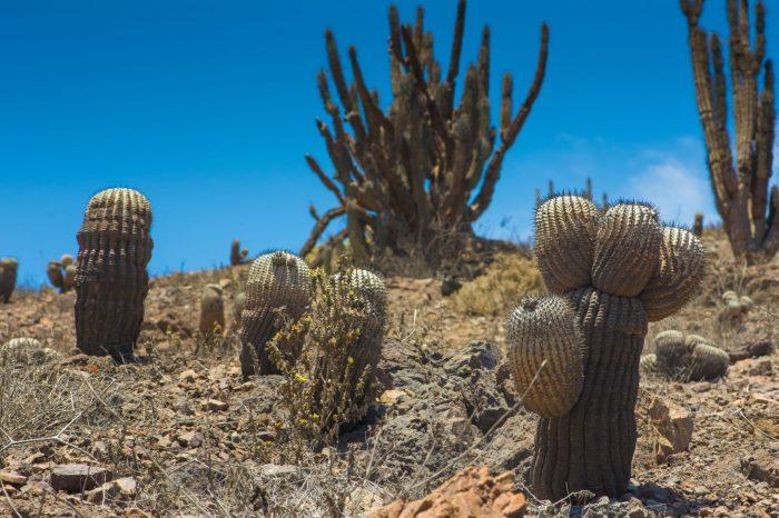 Desarrollan estudio para conservar la flora costera en riesgo de extinción de la región de Antofagasta