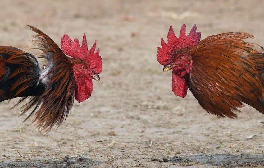 Carabineros sorprendió en plena cuarentena pelea de gallos en sector norte de Antofagasta
