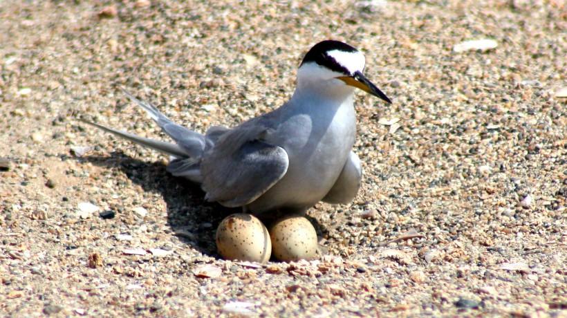 Fundación Gaviotin Chico denuncia ataque a ave en peligro de extinción que nidifica en Mejillones