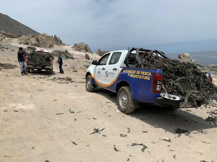 Sernapesca Antofagasta decomisa 550 kilos de algas barreteadas en Tocopilla