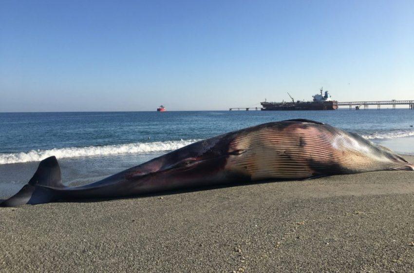 Expertos proponen medidas para evitar colisiones de ballenas contra navíos en Mejillones